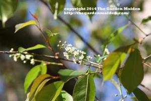 TheGardenMaiden copyright 2014, Spring blooms in my Mississippi yard