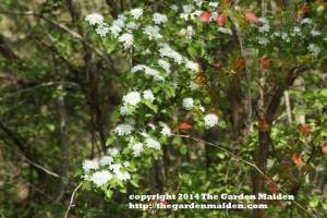 Parsley hawthorn. TheGardenMaiden_copyright_2014