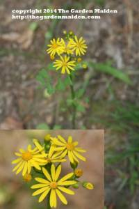 Asteraceae family. Either Senecio a.k.a. Packera genus. TheGardenMaiden_copyright_2014
