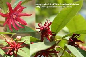 Illicium floridanum. TheGardenMaiden_copyright_2014