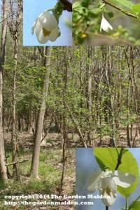 Halesia diptera. Silverbell.  TheGardenMaiden_copyright