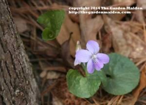 Viola. TheGardenMaiden_copyright