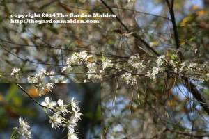 Malus species. TheGardenMaiden_copyright_2014