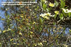 Cornus florida. TheGardenMaiden_copyright_2014