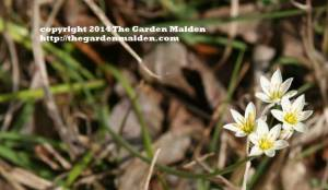 Nothoscordum bivalve. False garlic. TheGardenMaiden_copyright