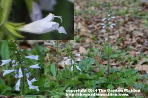 What's Blooming in My Yard. TheGardenMaiden_copyright_2014_RStafne-109_WEB