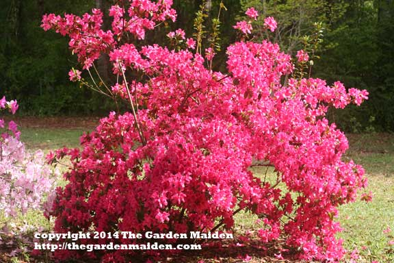 Rhododendron blooming in my yard. TheGardenMaiden_2014_RStafne-003_WEB