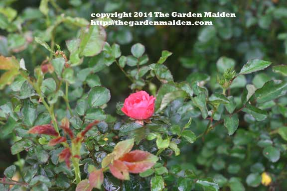 Rose blooming in my yard. TheGardenMaiden_2014_RStafne-003_WEB