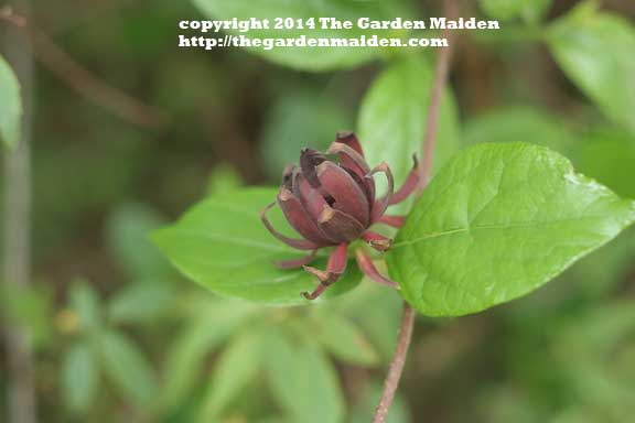 Sweetshrub blooming in my yard. TheGardenMaiden_2014_RStafne-003_WEB