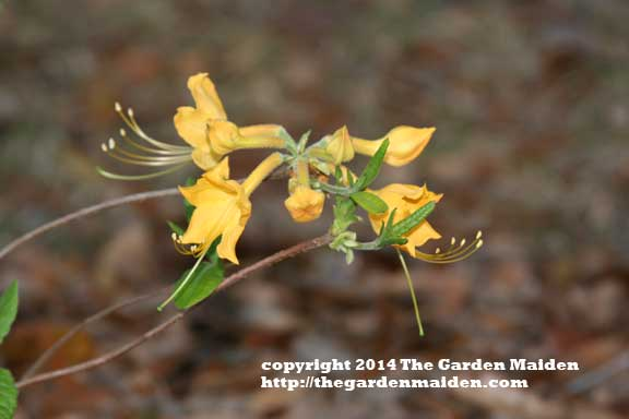 Native azalea blooming in my yard. TheGardenMaide_copyright_2014_RStafne-011_WEB