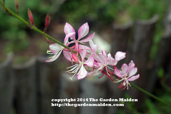 Gaura blooming in my yard. TheGardenMaiden_2014_RStafne-003_WEB