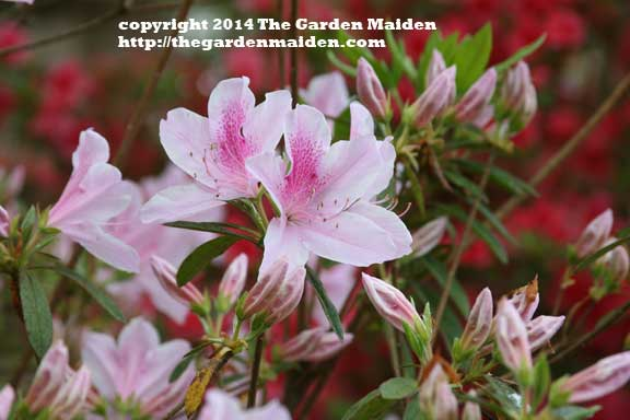 Blooming in my yard. TheGardenMaide_copyright_2014_RStafne-011_WEB