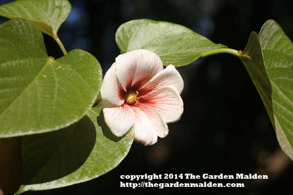Tung tree blooming in my yard. TheGardenMaiden_2014_RStafne-003_WEB