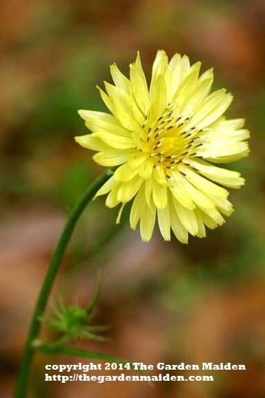 Carolina desert chicory blooming in my yard. TheGardenMaiden_2014_RStafne-003_WEB