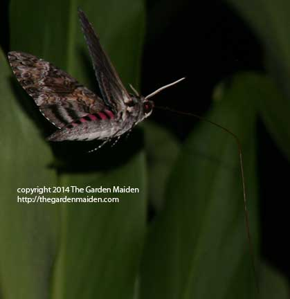 Sphinx or hummingbird moth at night in my garden. Image by The Garden Maiden, copyright 2014.
