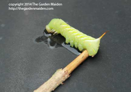 Tomato hornworm. Image by The Garden Maiden, copyright 2014.