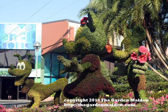 Pluto, Minnie and Mickey topiary. Epcot's International Flower and Garden Festival, 2014. May.  Image by The Garden Maiden, copyright 2014.