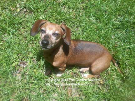 Doxie enjoys healthy, natural lawn. Image by The Garden Maiden, copyright 2014.