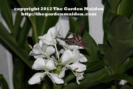 Sphinx moth on Hedychium coronarium Butterfly Ginger. TheGardenMaiden_copyright2012_RStafne_web