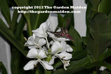 Sphinx moth on Hedychium coronarium Butterfly Ginger. TheGardenMaiden_copyright2012_RStafne_web