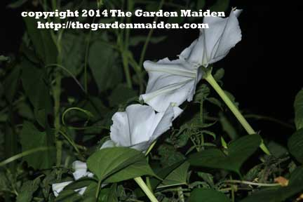 Moonflower. TheGardenMaiden_copyright2014