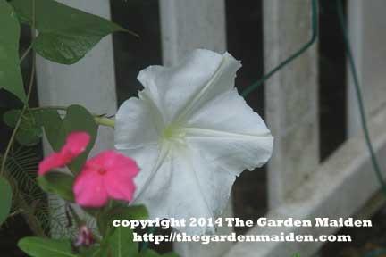 Moonflower. TheGardenMaiden_copyright2014