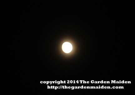 September Super Moon high in the sky. TheGardenMaiden_copyright2014