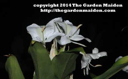 Hedychium coronarium Butterfly Ginger. TheGardenMaiden_copyright2014