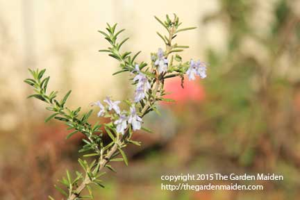 Blooming in My Yard, January 4-10, 2015.TheGardenMaiden_copyright_2015