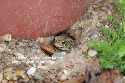 Toad in My Yard, final week of February. TheGardenMaiden_copyright_2015