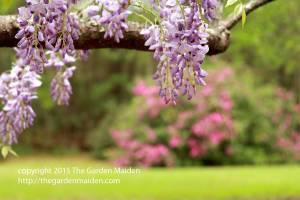 Late March flowers in my yard.  Copyright The Garden Maiden http://thegardenmaiden.com