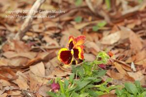 Late March flowers in my yard.  Copyright The Garden Maiden http://thegardenmaiden.com