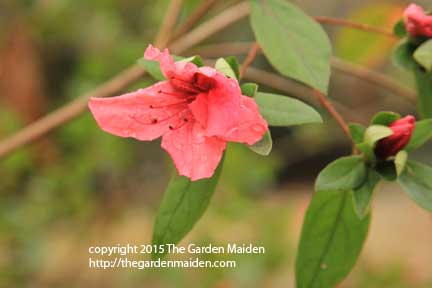 Blooming in My Yard, final week of February. TheGardenMaiden_copyright_2015