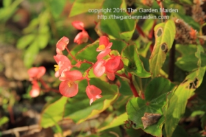 Blooming in My Yard December 6-12, 2015. Copyright The Garden Maiden 2015