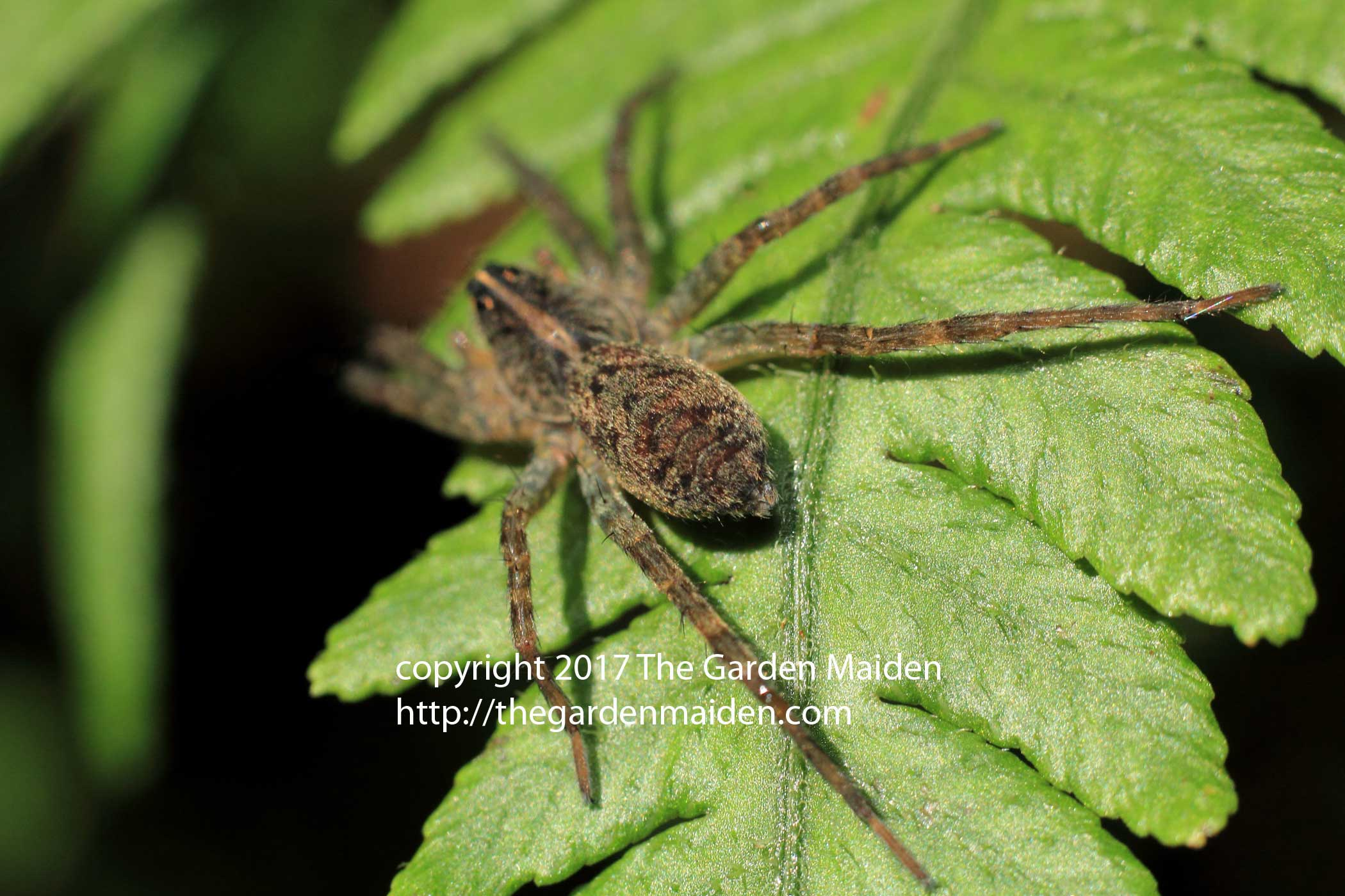 My Best U201cguessu201d Is Perhaps A Grass Spider, Agelenopsis Spp.? If You Can  Positively Identify What I Believe Is A Common Spider, Please Let Me Know.